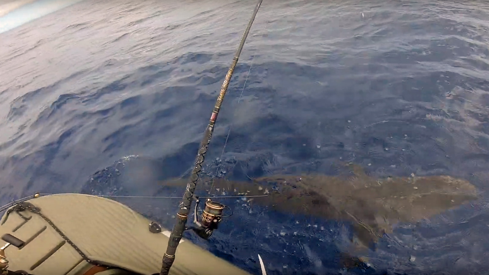 Shark caught in S4 skiff, Hawaii